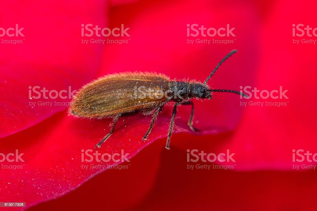 Small brown beetle stock photo