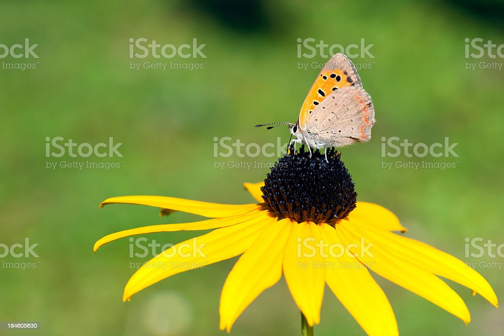 Small brown butterfly royalty-free stock photo