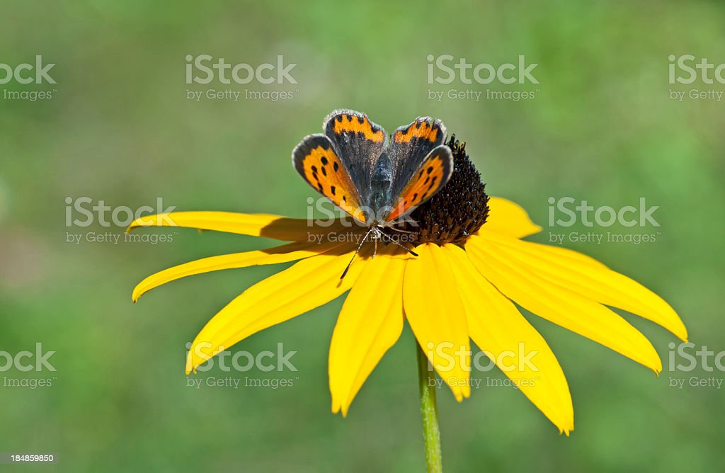Small brown butterfly stock photo