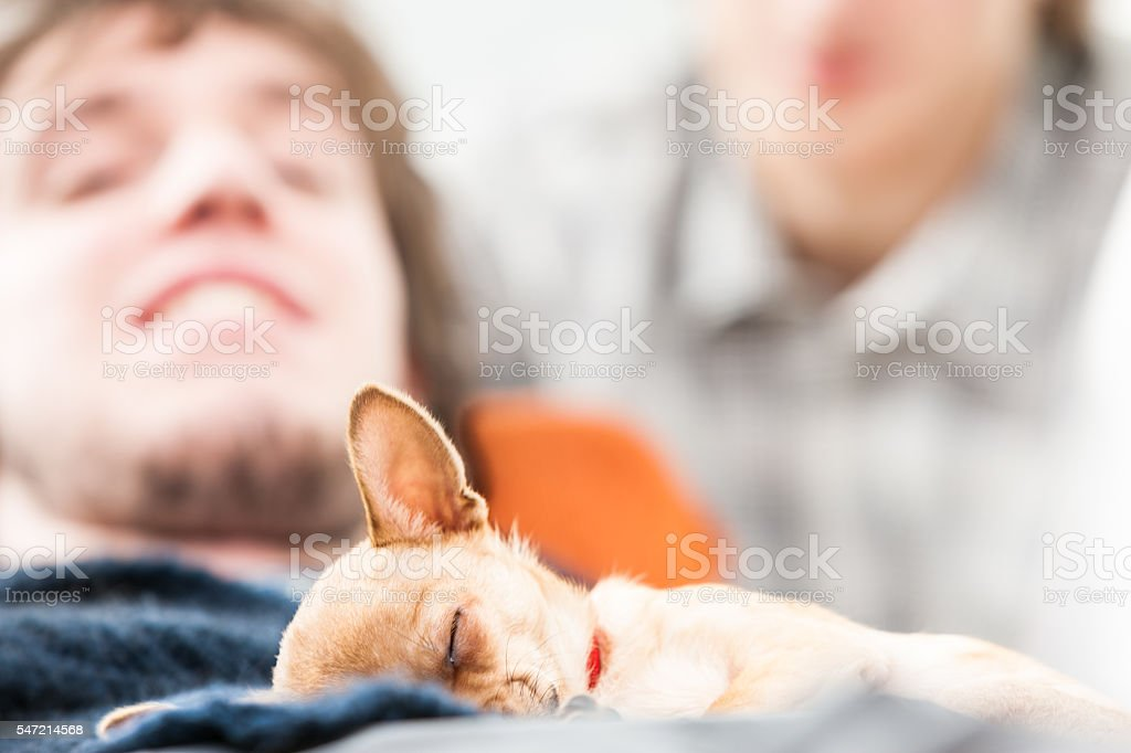 Small brown chihuahua dog asleep on a lap stock photo