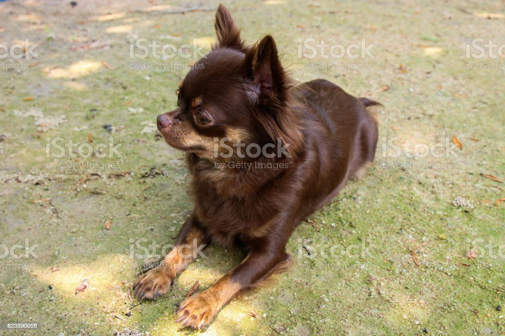 Small brown Chiuahua dog crouch on sand ground in relaxing  time. stock photo
