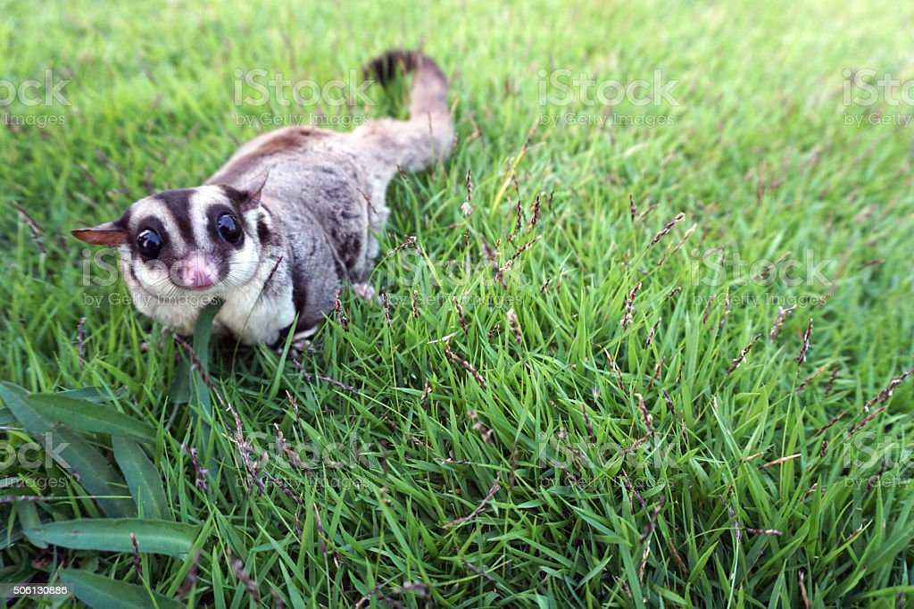 Small brown furry sugar glider playing on the grass stock photo
