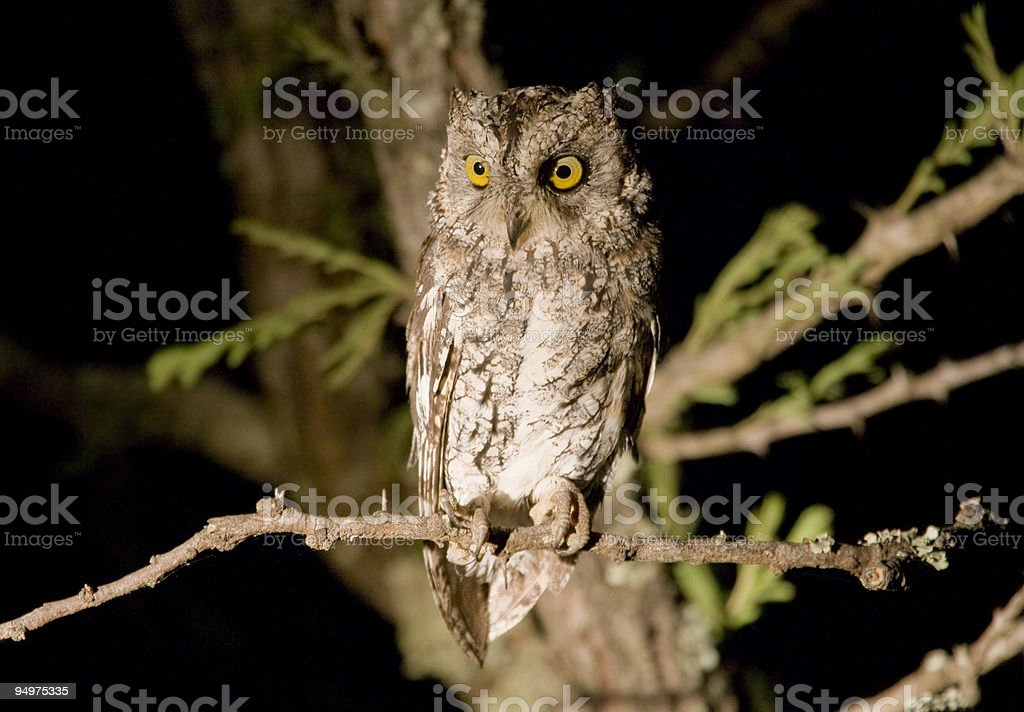 A small brown owl perched in a tree at night royalty-free stock photo