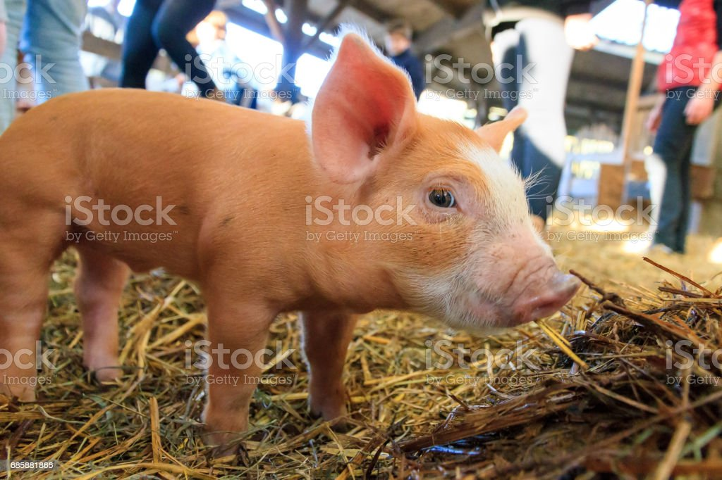 Small brown piglet stock photo