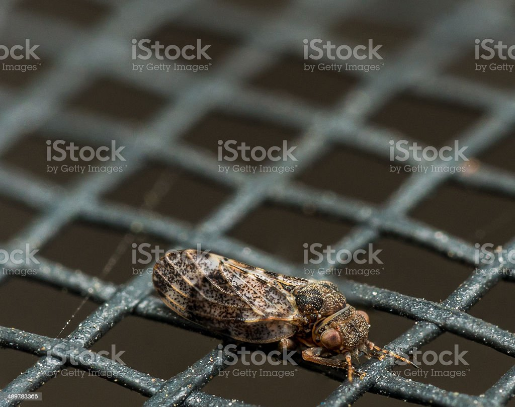 Small Brown Spittlebug on Window Screen stock photo