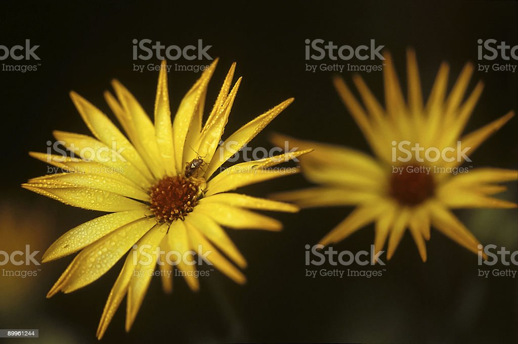 Small Bug On A Yellow Flower royalty-free stock photo