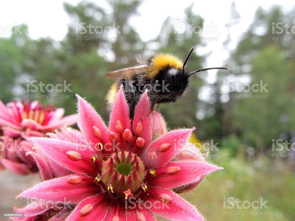 small Bumblebee stock photo