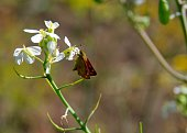Small butterfly(Brown Skipper) on white flower