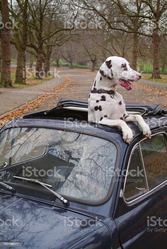 Small Car Big Dog Pampered Pet stock photo
