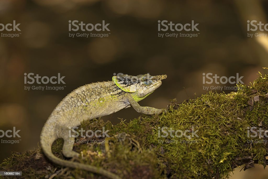 Small chameleon on a mossy branch stock photo