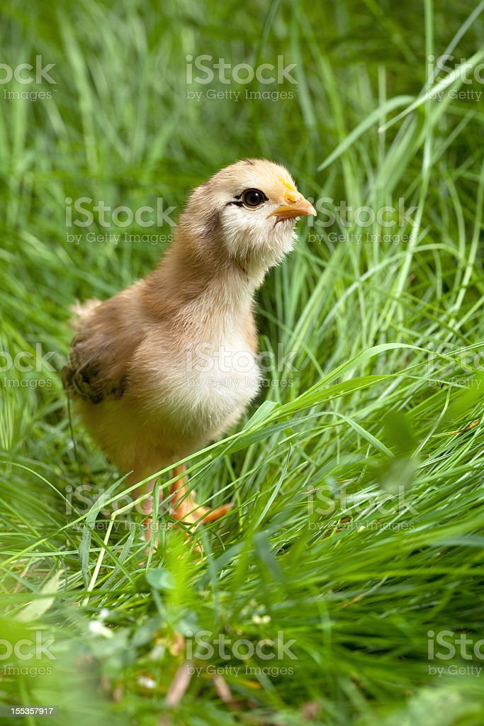 Small chicken in the grass royalty-free stock photo