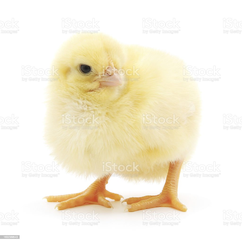 Small chicken royalty-free stock photo