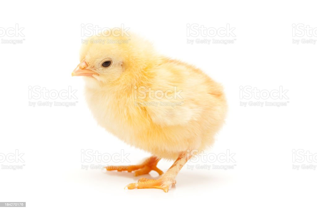Small chicken stock photo