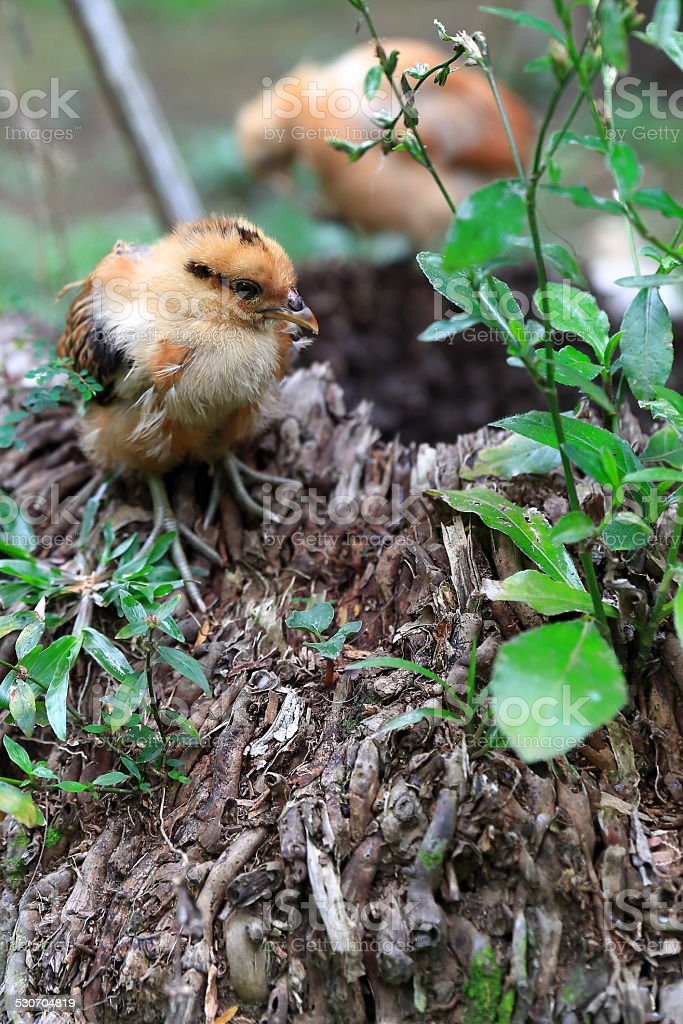 Small chicken-Epi-Vanuatu stock photo