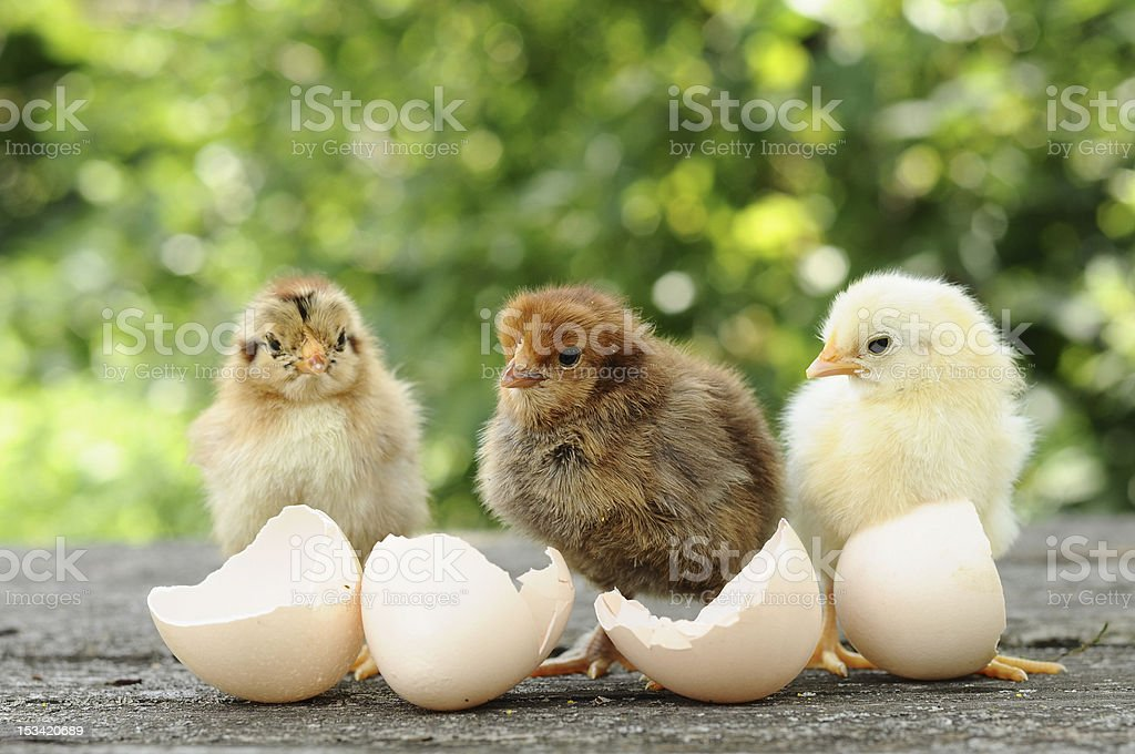 Small chicks and egg shells stock photo