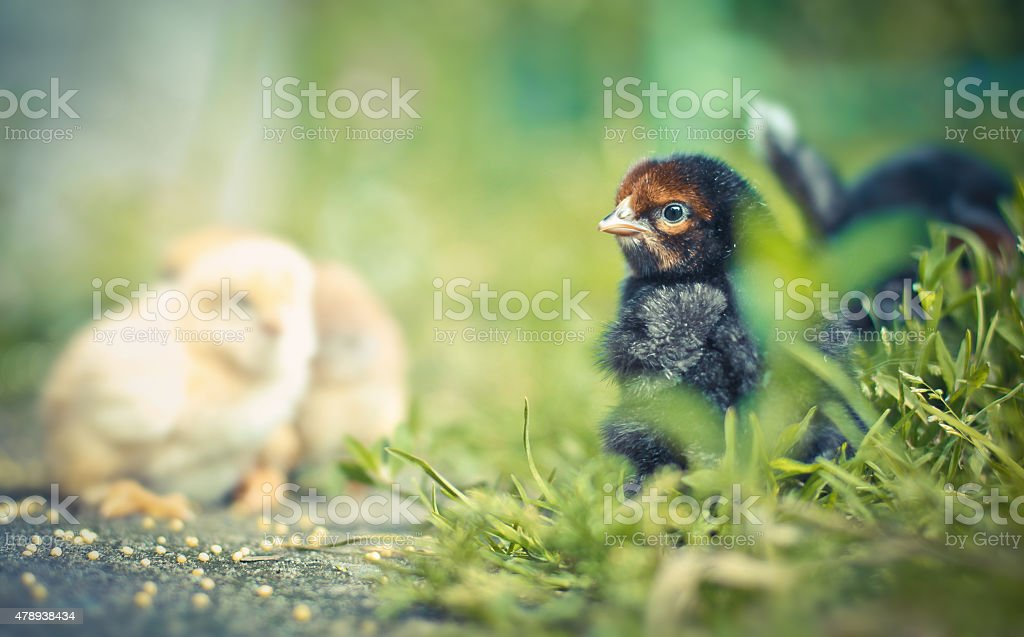 Small chicks in the grass stock photo