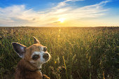 Small chihuahua dog enjoying golden sunset in grass. It looks