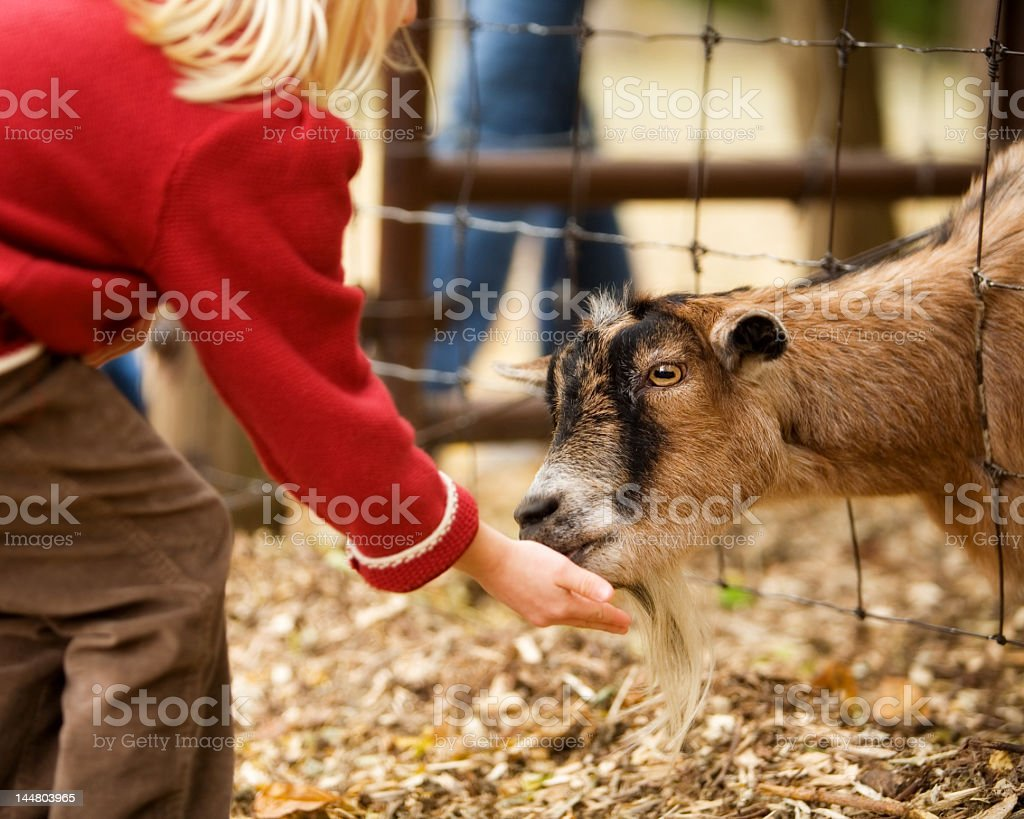 Small child feeding a goat from their hand stock photo