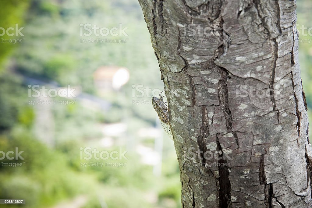 Small cicada in a tree stock photo