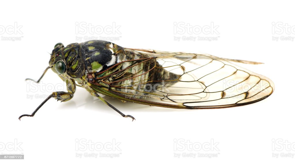 Small cicada on a white background stock photo