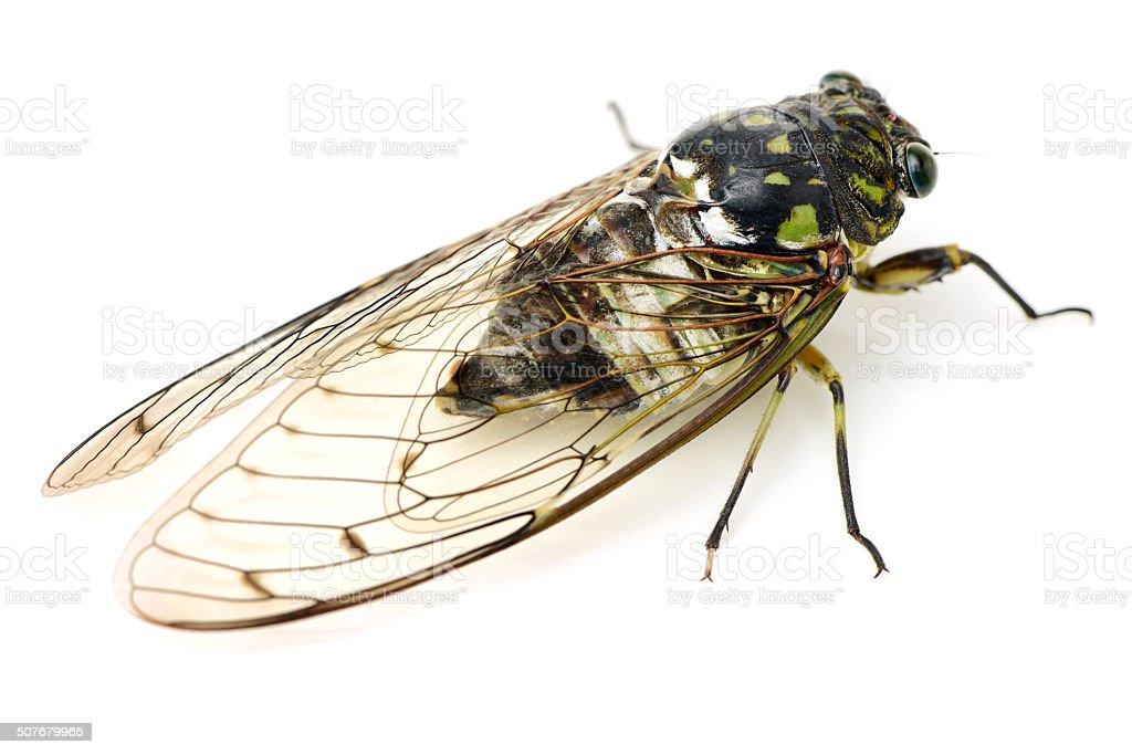 small cicada stock photo