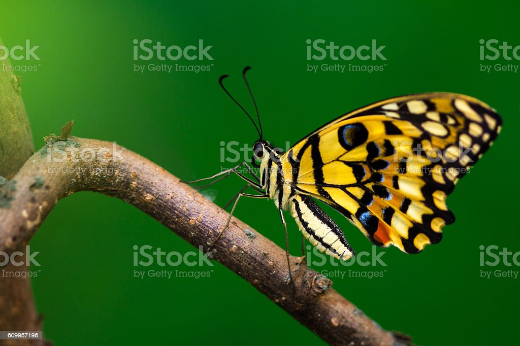 Small citrus butterfly stock photo