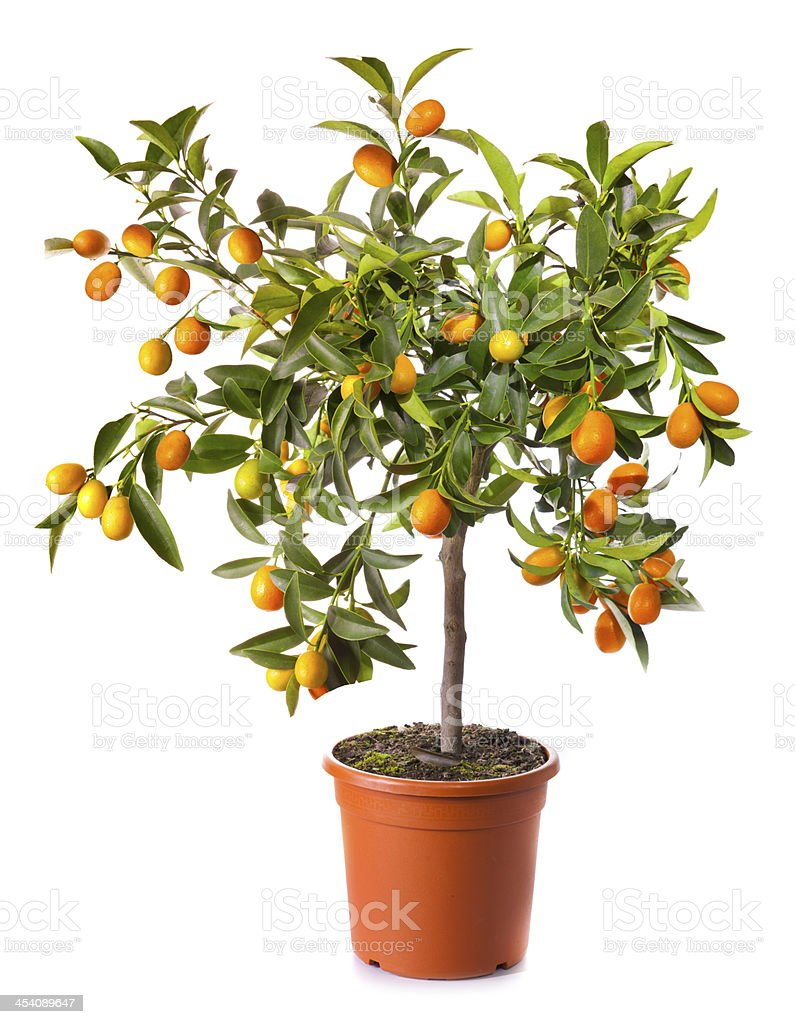 small citrus tree in pot isolated on white stock photo