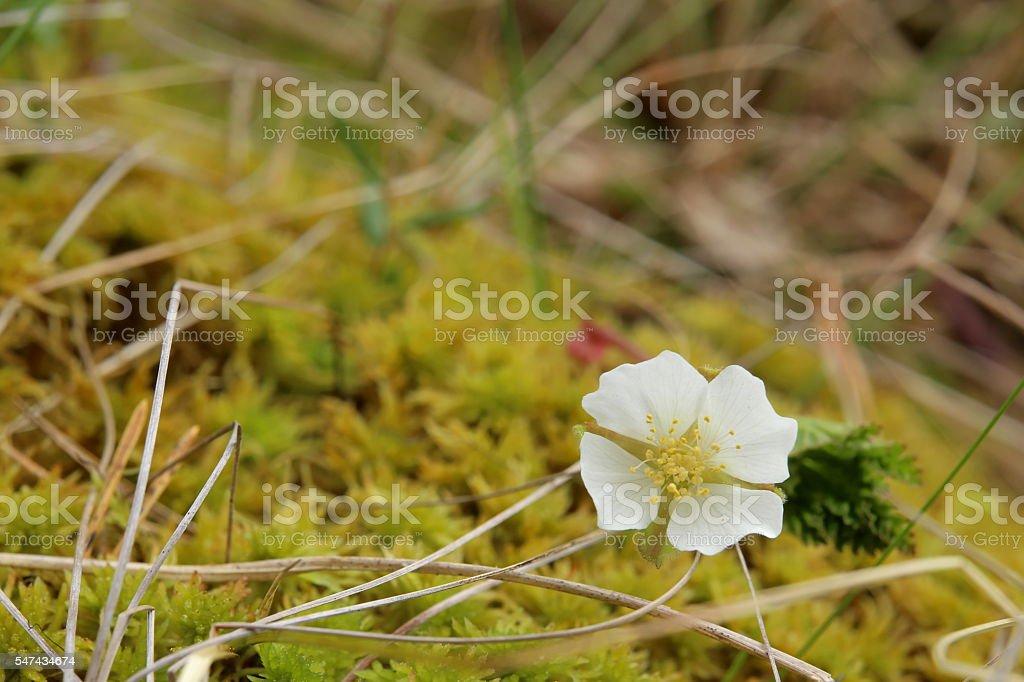 Small cloudberry (Rubus chamaemorus) plant with blossom stock photo