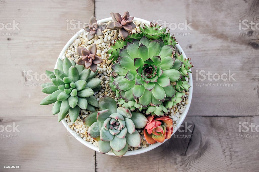 small colorful succulent plants in pot stock photo