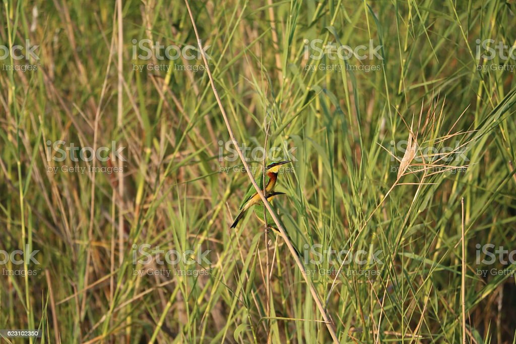 Small colorful Swallowtail Bee eater in the reed, Namibia Africa stock photo