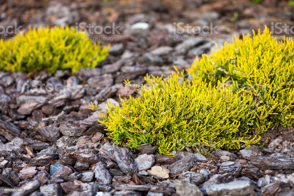 Small coniferous (juniper) bushes stock photo