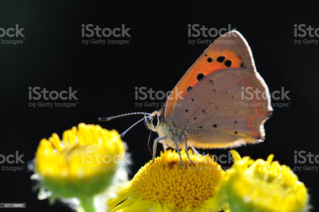 Small copper butterfly macro stock photo