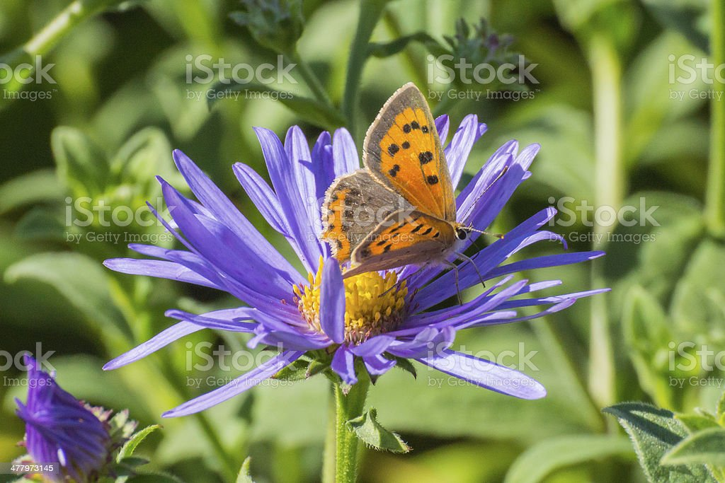 Small Copper Butterfly on purple flower royalty-free stock photo