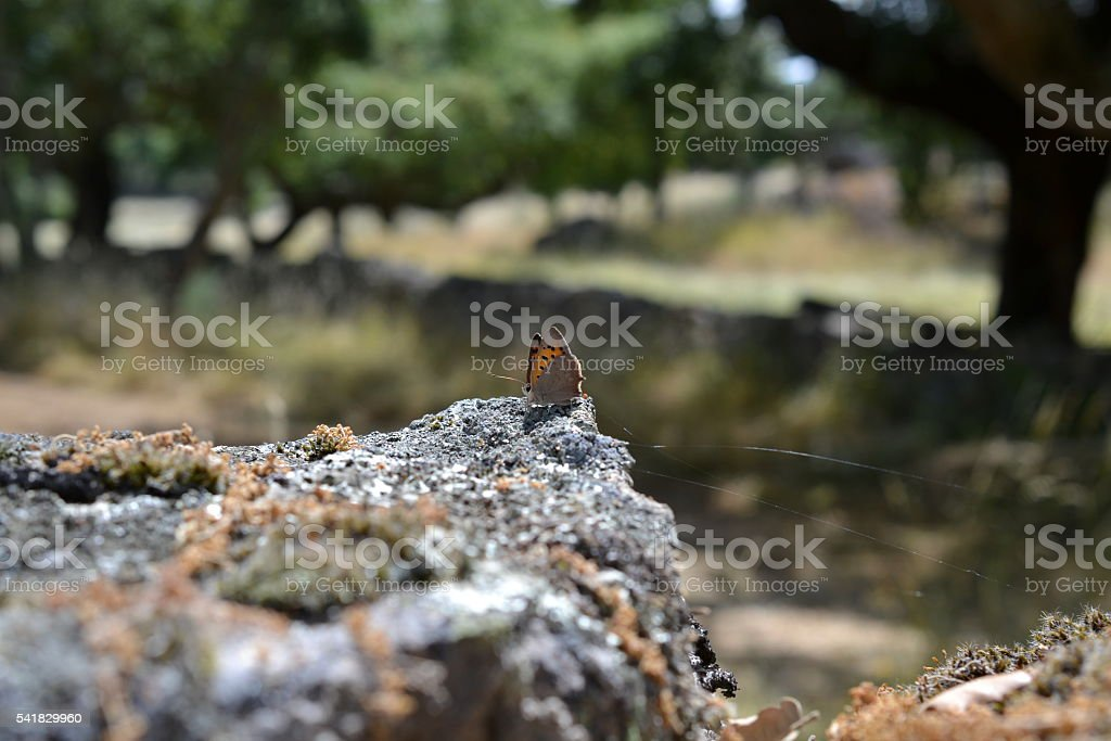 Small Copper Butterfly on Rock stock photo