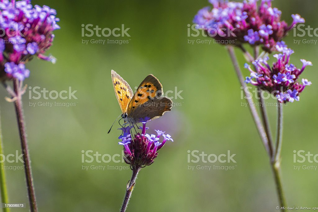 Small Copper Butterfly on verbena flower royalty-free stock photo