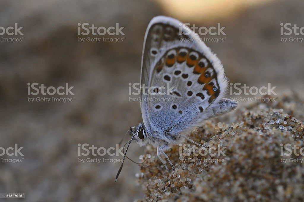 small copper butterfly (Lycaenidae) royalty-free stock photo