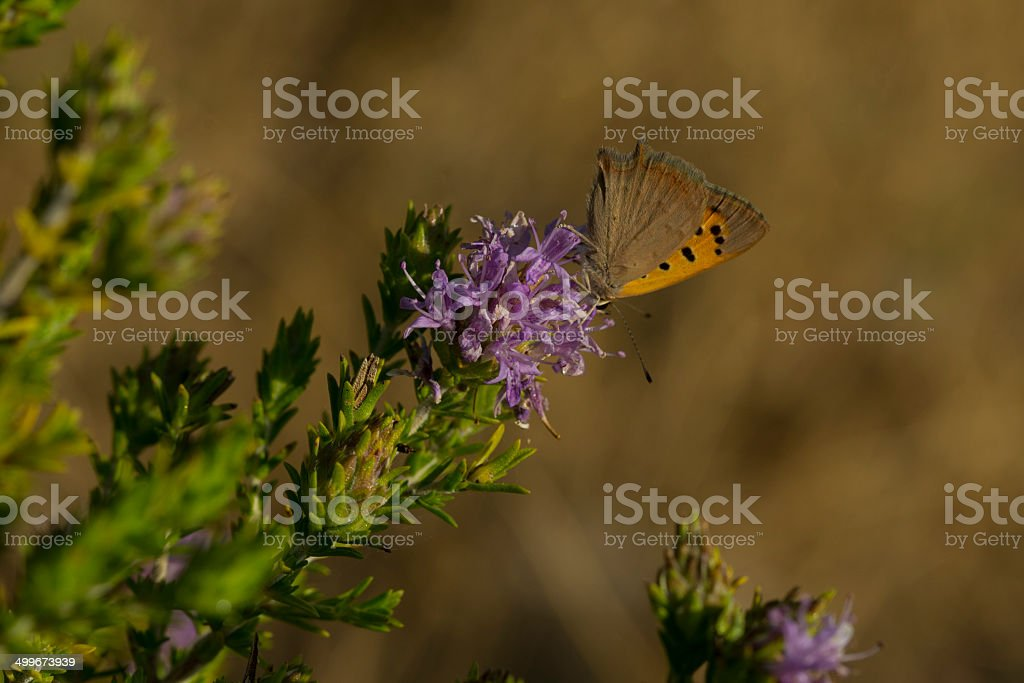 Small Copper Butterfly royalty-free stock photo