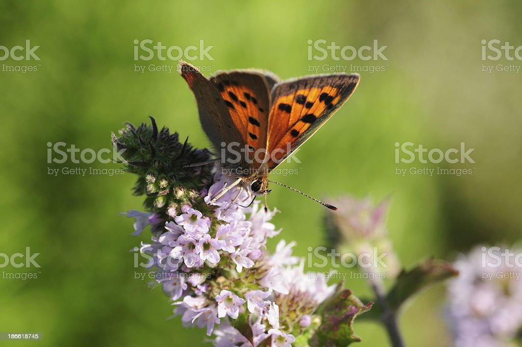 Small copper butterfly, U.K. royalty-free stock photo