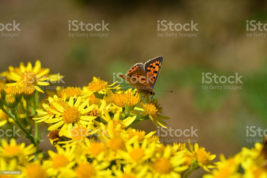 Small Copper Butterfly, U.K. stock photo
