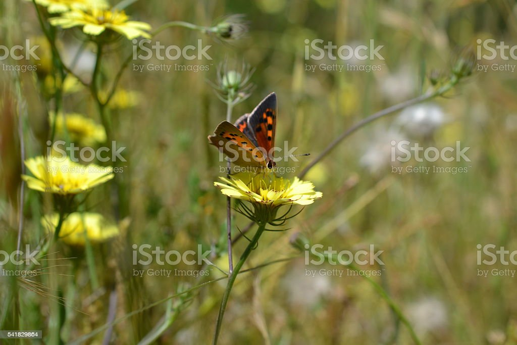 Small copper butterfy on flower stock photo