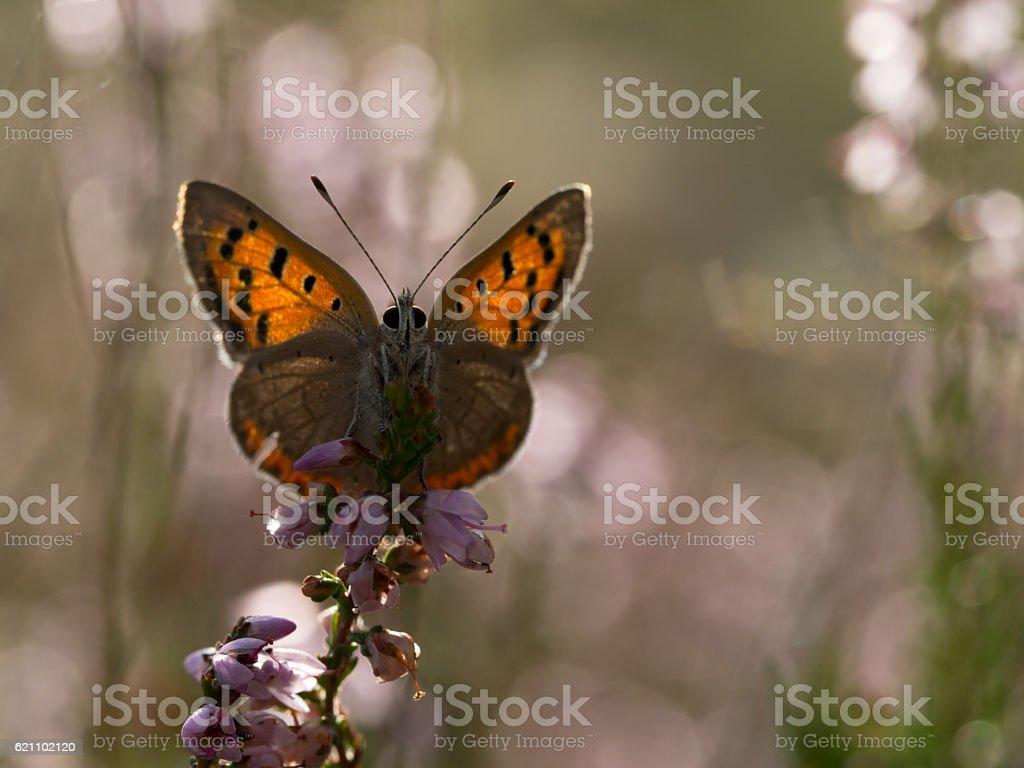 Small copper, Lycaena phlaeas stock photo