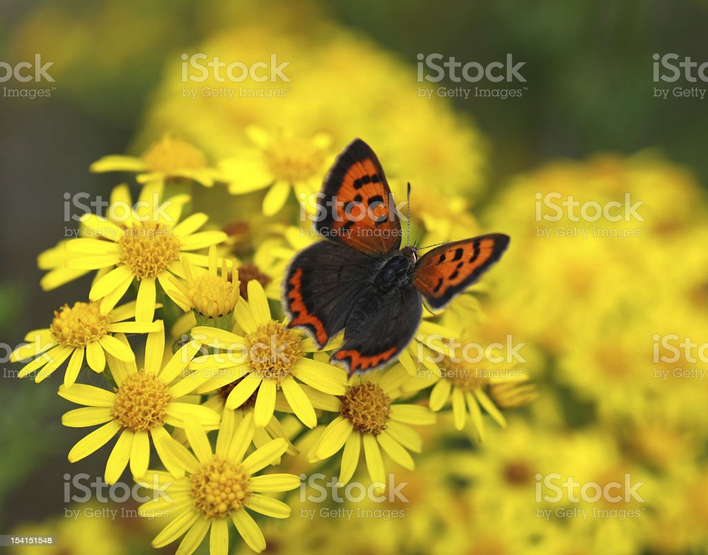small copper with spread wings stock photo