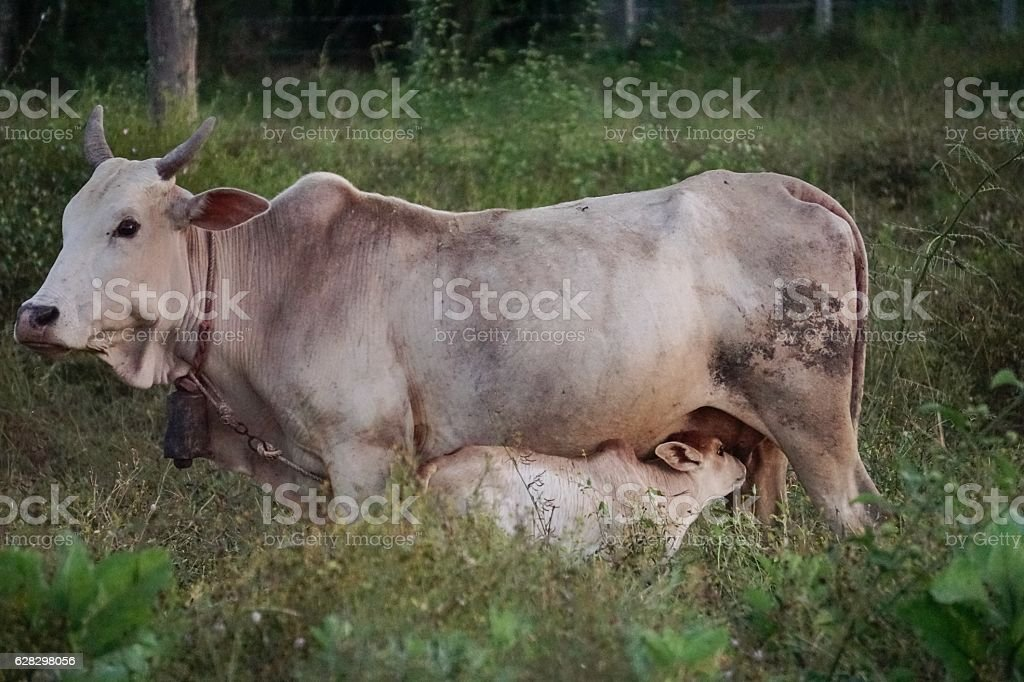 Small cow and mother royalty-free stock photo