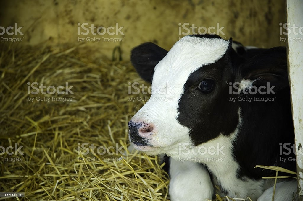 small cow stock photo