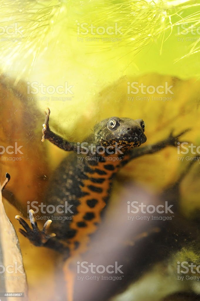 Small crested newt stock photo