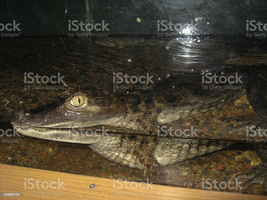 small crocodile behind glass in a zoo stock photo