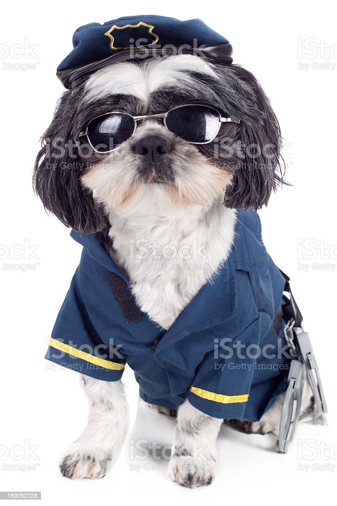 Small cute dog modeling K9 police uniform & sunglasses stock photo