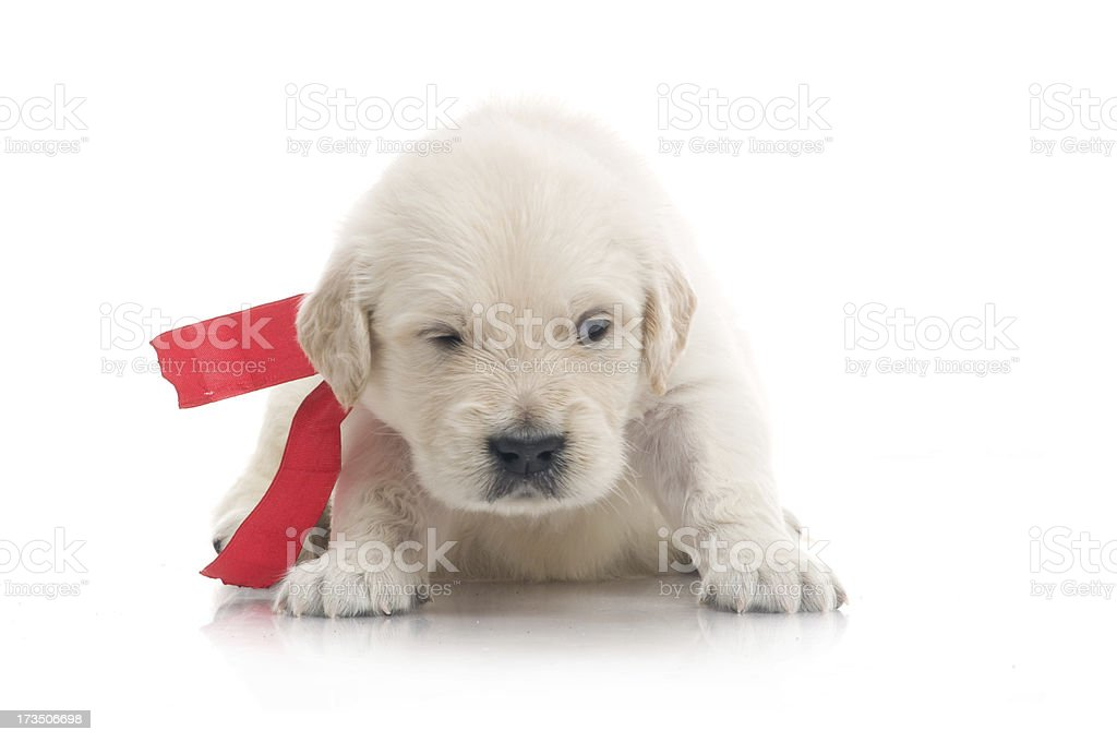 small cute golden retriever puppy,  on white background royalty-free stock photo