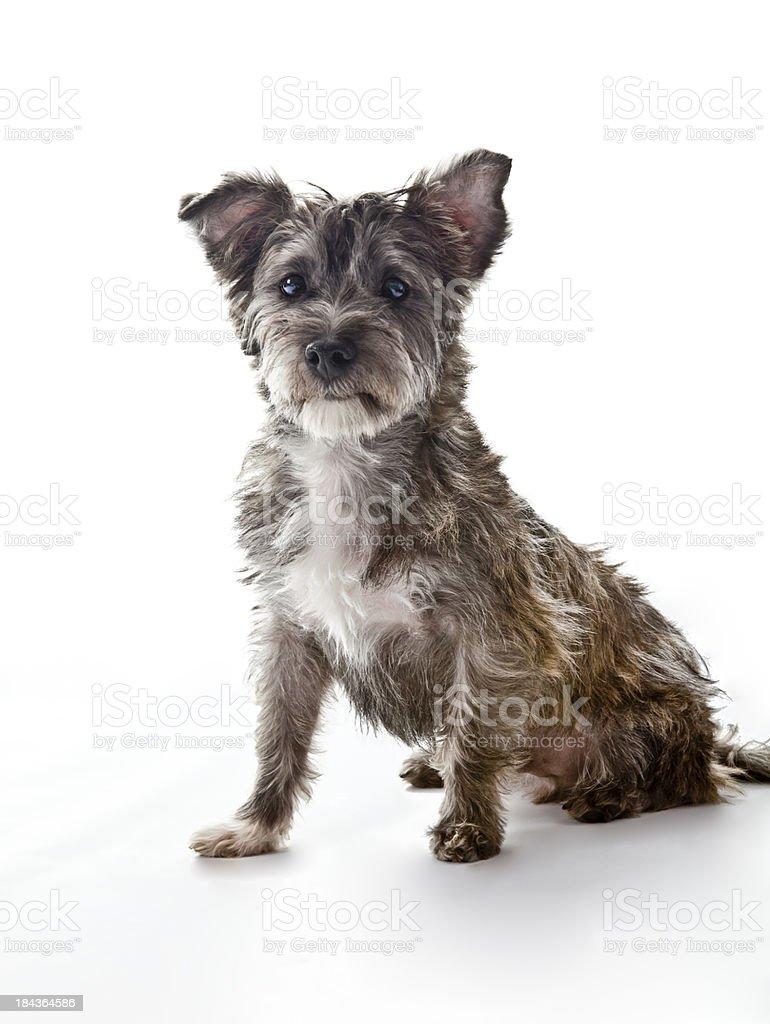 Small Cute Mixed Breed Dog Looks at Camera stock photo