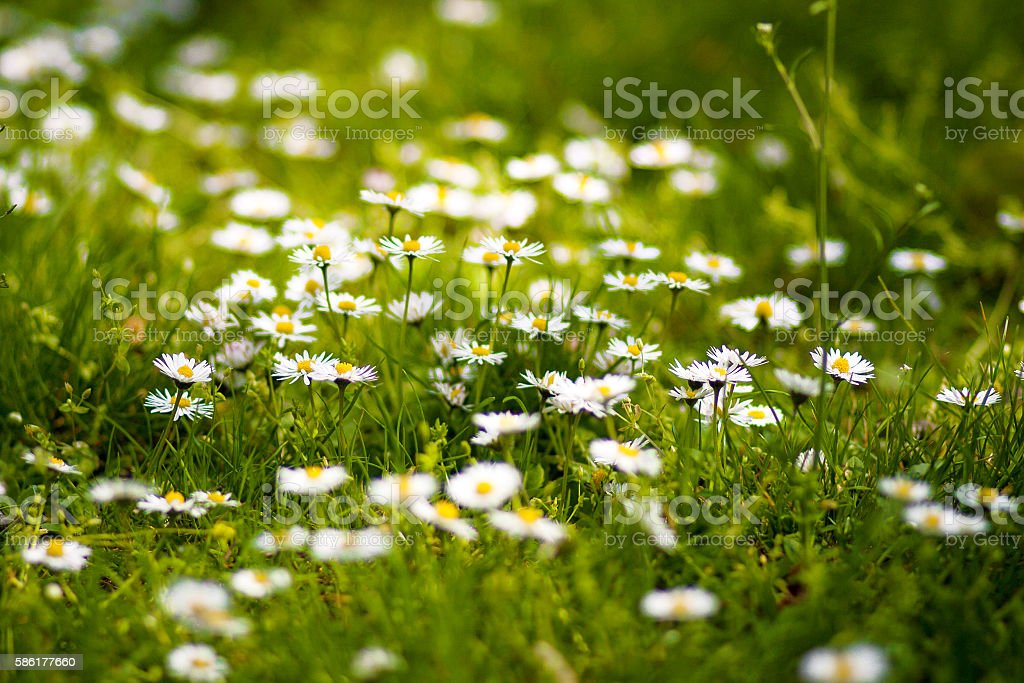 Small daisies in the grass stock photo
